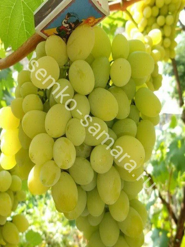 Виноград Белое Чудо плодовый