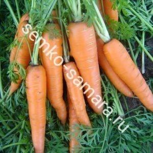 вита лонга морковь