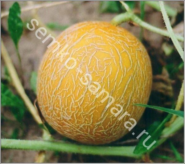 Дыня Лада - профессиональные семена