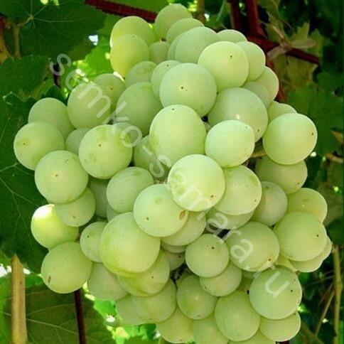 Виноград Талисман плодовый