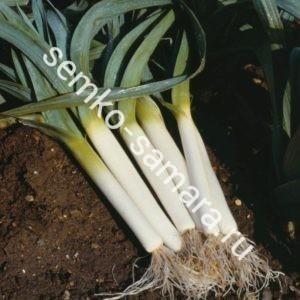 Лук порей Бандит, Бейо-семена, Нидерланды, 10.000 сем.