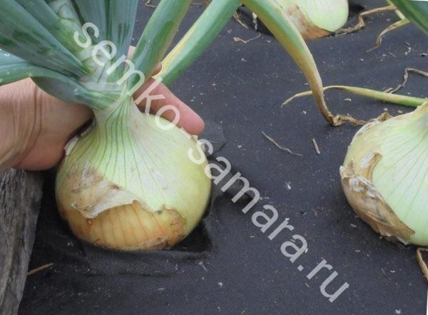 Лук репчатый Эксибишен, Бейо-семена, Нидерланды, 10000 сем.