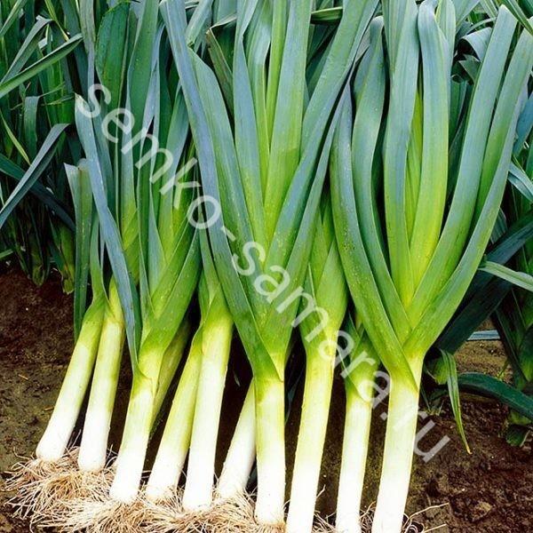 Лук порей Коламбус, Бейо-семена, Нидерланды, 10.000 сем.