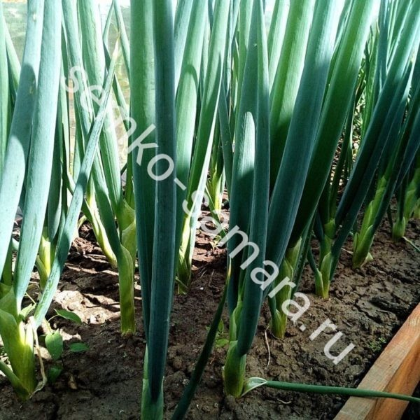 Лук батун Перформер, Бейо-семена, Нидерланды, 250.000 сем.