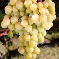 Виноград Лилла плодовый