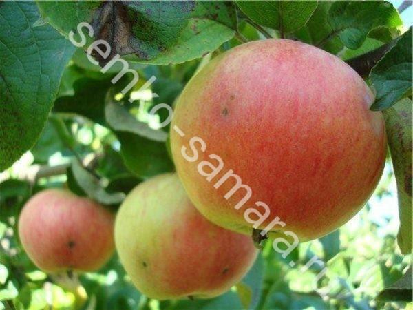 Яблоня Соколовское карликовая - саженцы