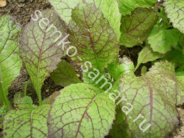 Горчица Аригато (листовая)