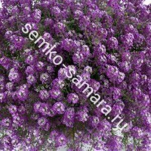 Алиссум Фиолетовая Дымка