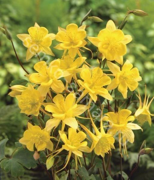 Аквилегия гибридная Желтая Звезда