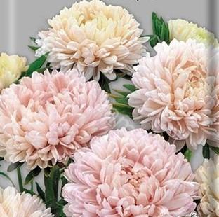 Астра Валентинов день Лососево - розовая