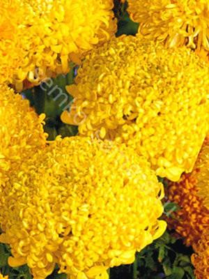 Бархатцы прямостоячие Спун лимонные