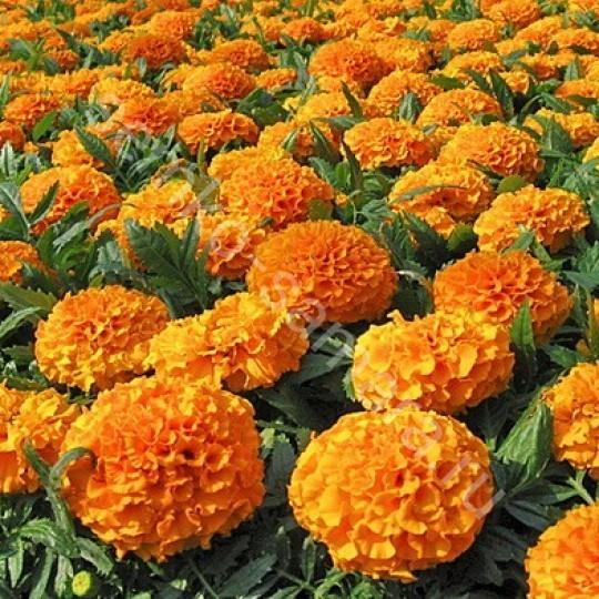 Бархатцы прямостоячие Спун оранжевые