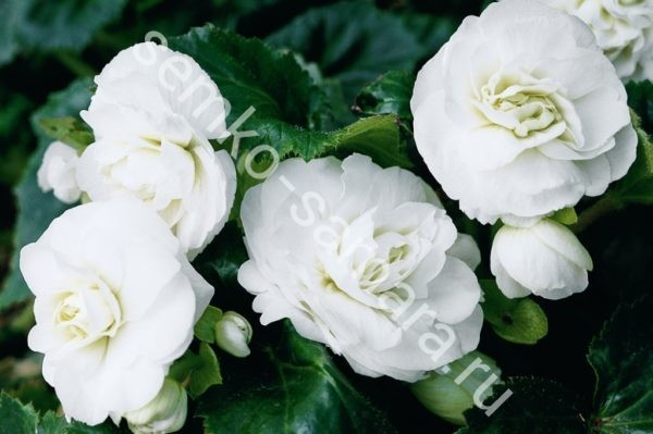 Бегония клубневая крупноцветковая Белая