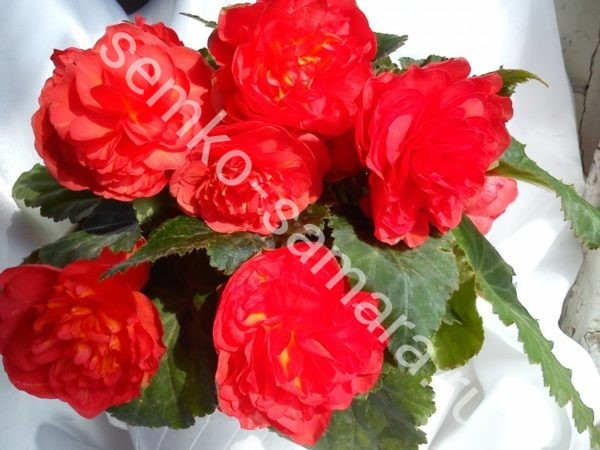 Бегония клубневая крупноцветковая Красная
