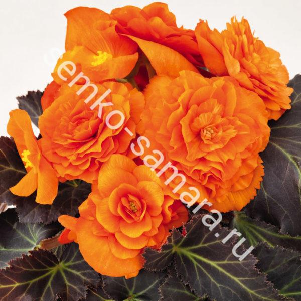 Бегония клубневая крупноцветковая Оранжевая