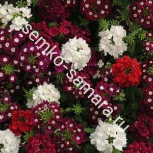 Вербена крупноцветковая Мерло