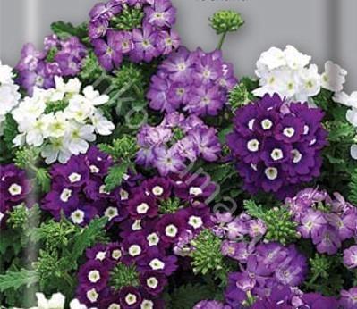 Вербена крупноцветковая Тоскана