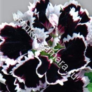 Гвоздика Геддевига Черная с белой каймой
