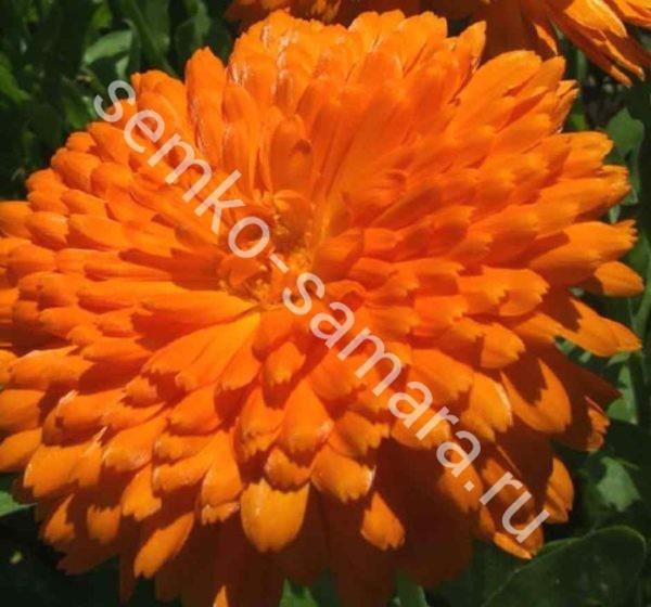 Календула пацифик Оранжевая красавица