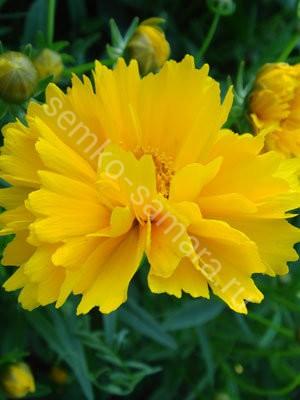 Кореопсис крупноцветковый Затея