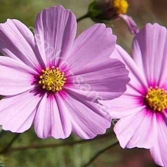 Космея Сенсация розовая