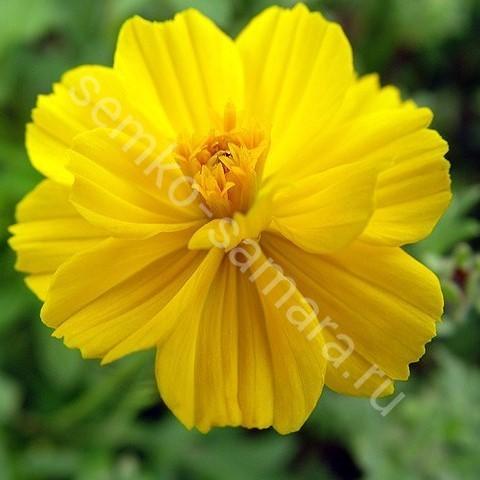 Космея Солнечная желтая