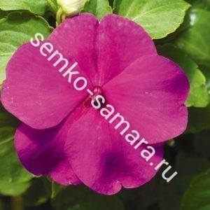 Бальзамин Акцент Виолет