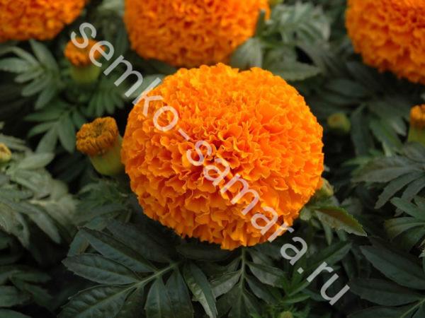Бархатцы прямостоячие Антигуа Оранж