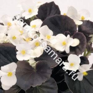 Бегония вечноцветущая бронзоволистная Гавана Вайт