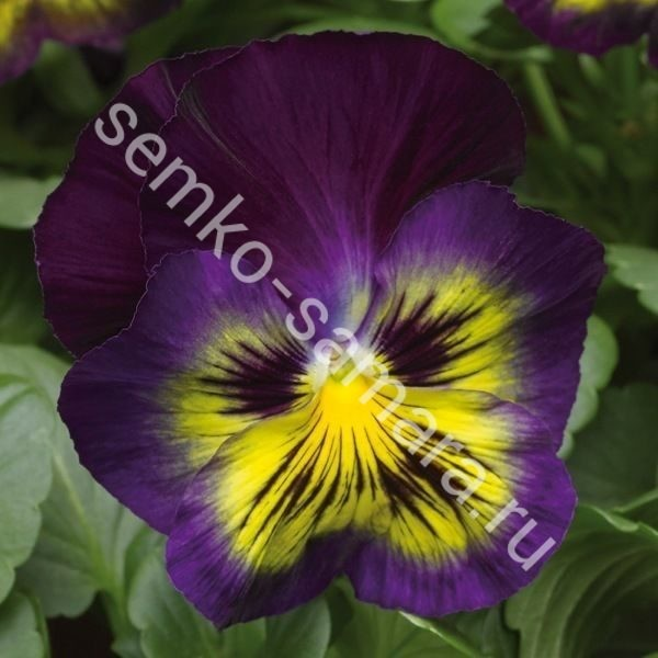 Виола крупноцветковая Карма Блю Баттерфляй