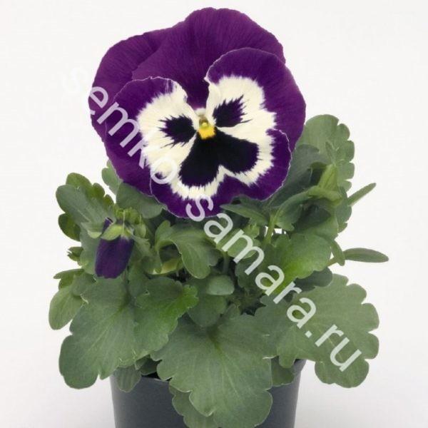 Виола крупноцветковая Карма Виолет виз Фэйс