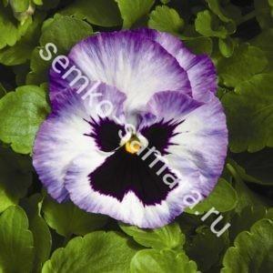 Виола крупноцветковая Колоссус Лавендер Сюрпрайз