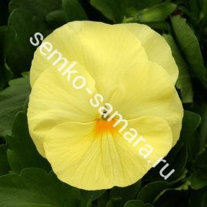 Виола крупноцветковая Колоссус Лемон Шейдес