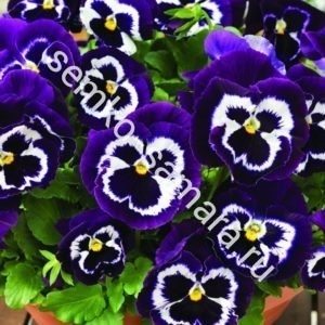 Виола крупноцветковая Маммот Вива ла Виолет
