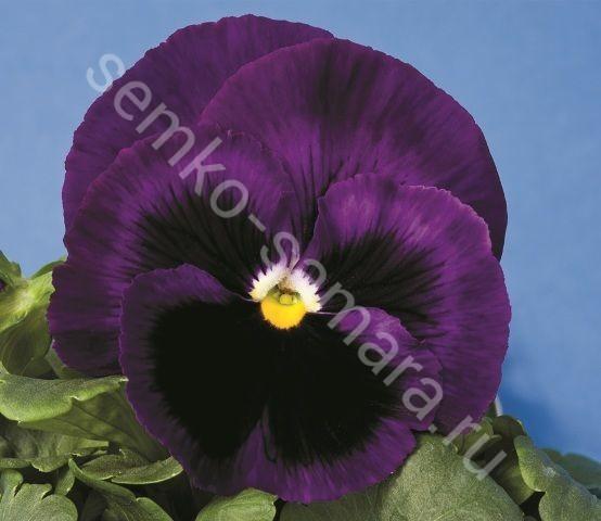 Виола крупноцветковая Маммот Дип блю дазл
