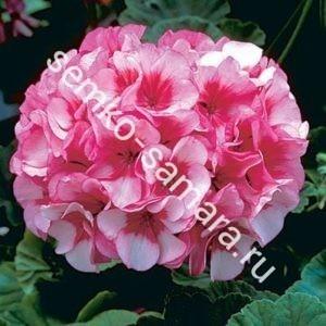 Пеларгония Маверик Бело-розовая