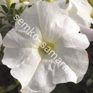 Петуния крупноцветковая Танго Белая