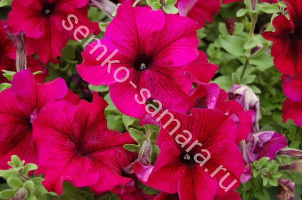 Петуния крупноцветковая Танго Бордовая