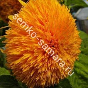 Подсолнечник однолетний Оранжевое солнце