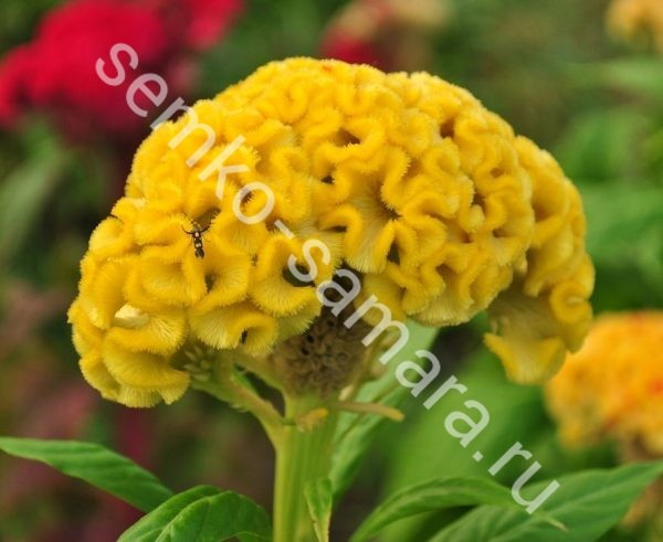 Целозия гребенчатая Крошка жёлтая