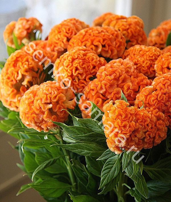 Целозия гребенчатая Крошка оранжевая