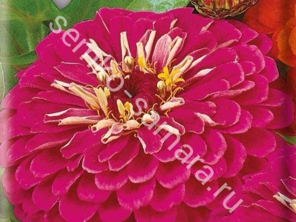 Цинния георгиноцветковая Волшебная роза