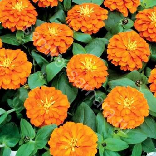 Цинния низкорослая Фея оранжевая