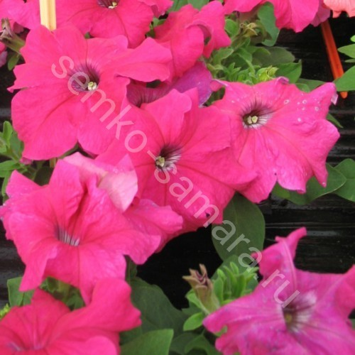 Петуния крупноцветковая Танго Розовая