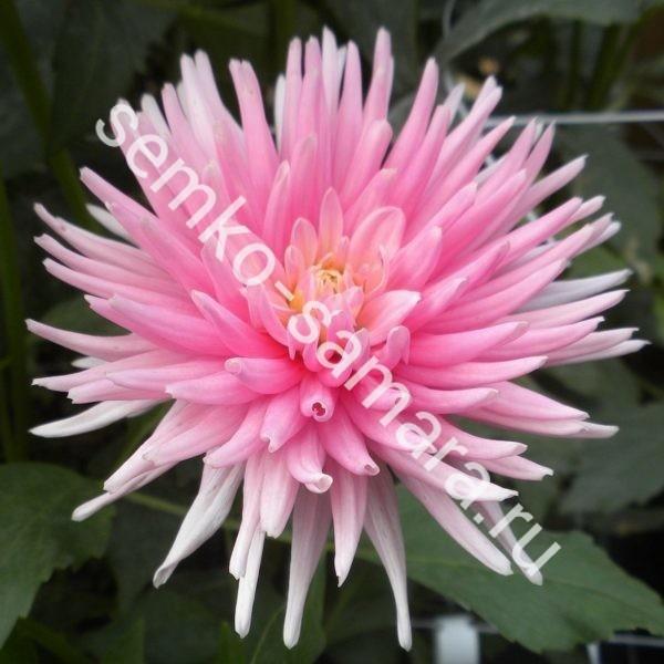 Георгина кактусовая Парк Принцесс