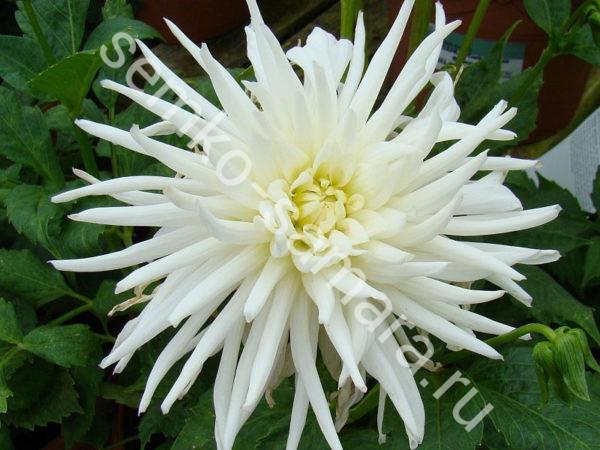 Георгина кактусовая Плая Бланка