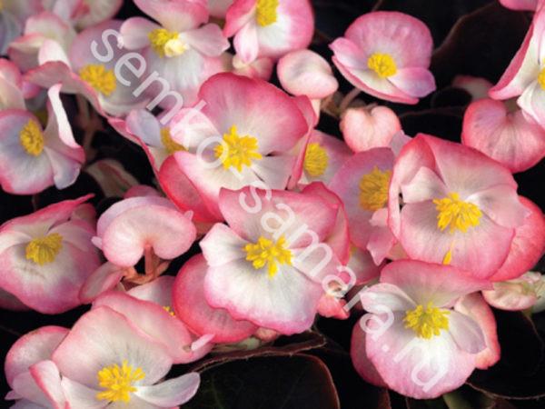 бегония вечноцветущая бада бум rose
