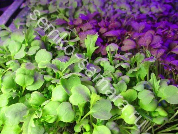 Капуста японская Мизуна зелёная микрозелень