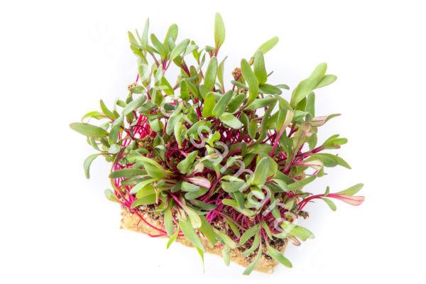 Мангольд Зелёный микрозелень
