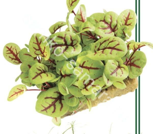 Щавель Сангвиник микрозелень